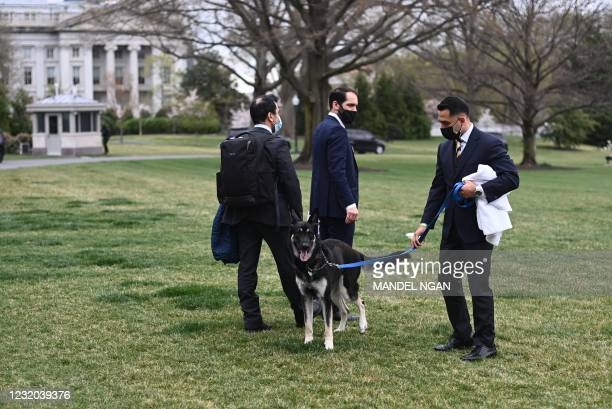 The Bidens dog Major is seen on the South Lawn of the White House in Washington, DC, on March 31, 2021. - First dogs Champ and Major Biden are back...