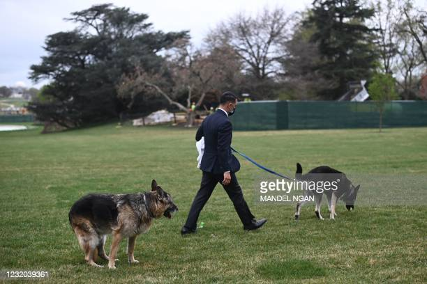 The Bidens dogs Champ and Major are seen on the South Lawn of the White House in Washington, DC, on March 31, 2021. - First dogs Champ and Major...