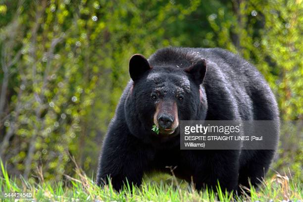 the big and the beautiful - black bear stock pictures, royalty-free photos & images
