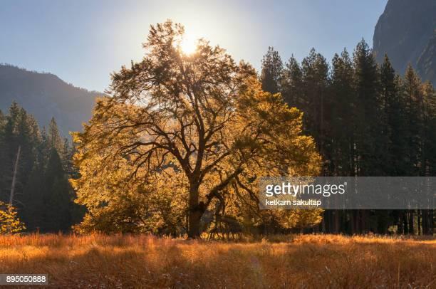 The big elm tree at Yosemite meadow at sunrise.