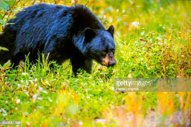 The big Haida Gwaii Black Bear (Ursus americanus carlottae) also called Black bear of the Queen Charlotte Islands - British Columbia - Canada
