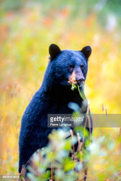 The big Haida Gwaii Black Bear (Ursus americanus carlottae) also called Black bear of the Queen Charlotte Islands, Standing up while eating Clover - British Columbia - Canada