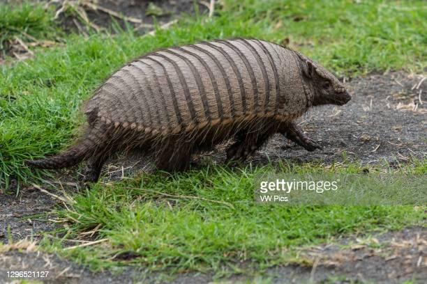The Big Hairy Armadillo, Chaetophractus villosus, is the largest and most numerous of the armadillo species in South America. Torres del Paine...