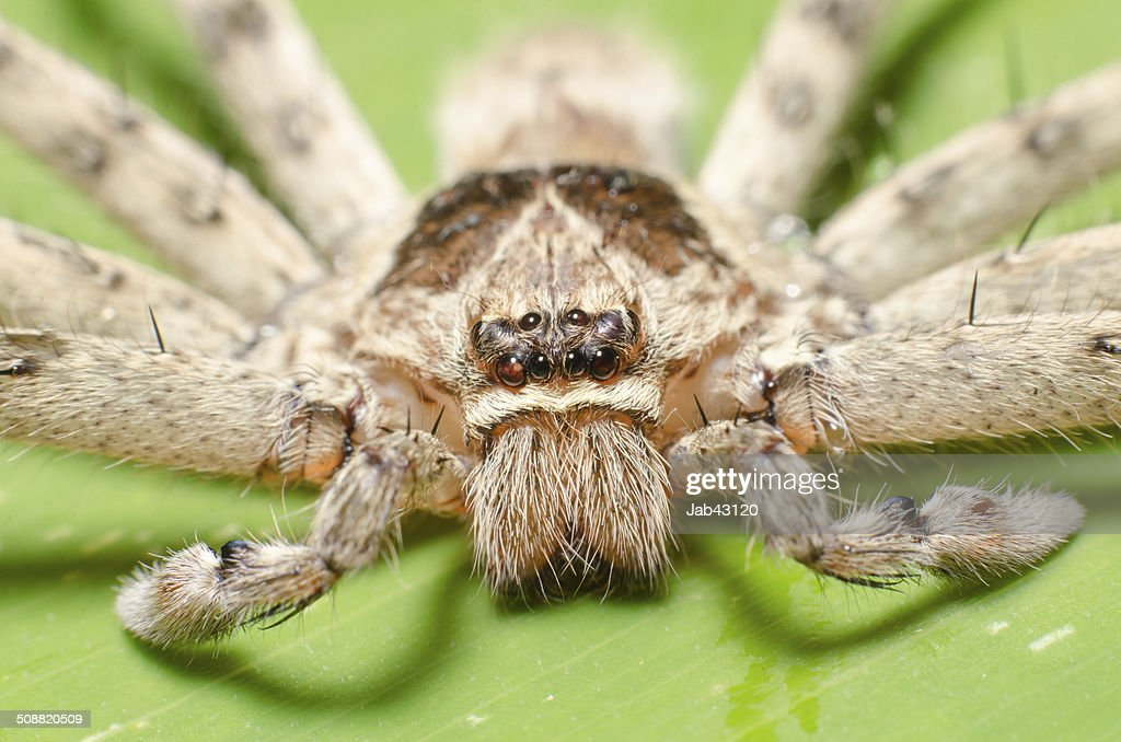 The Spider With Long Legs On Banana Leaf Macro Stock Photo