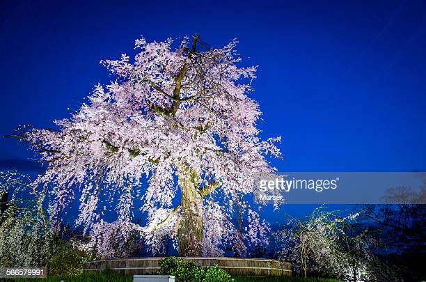 The big tree of weeping cherry blossoms