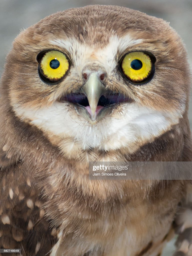 The Big Yellow Eyes of a Burrowing Owl : Stock Photo