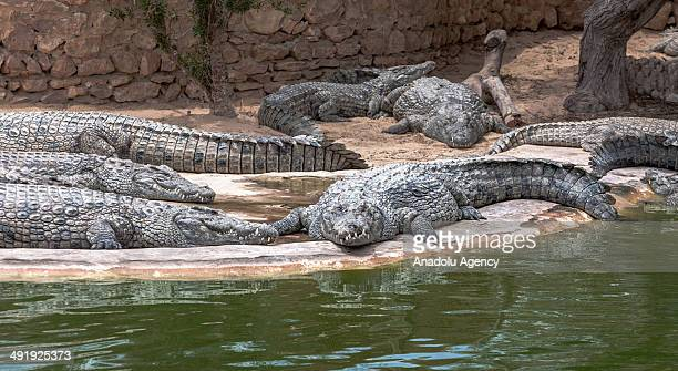 The biggest Mediterranean Crocodile Farm in Djerba Island home to over 400 crocodiles imported from the Nile River since 1992 is attracted by...