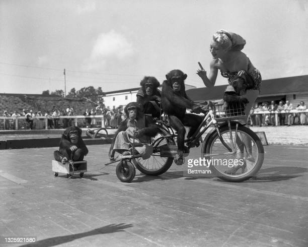 The bike-riding chimps must be kept on the beam by daily workouts during the winter training. Here Beatrice Dante works out with Eldridge's Peerless...
