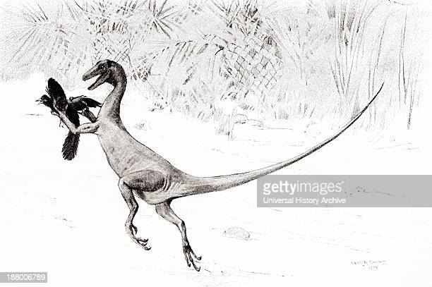 The Bird Catching Ornitholestes Dinosaur In The Act Of Catching The Jurassic Bird Archaeopteryx After The Drawing By Charles R Knight From The...