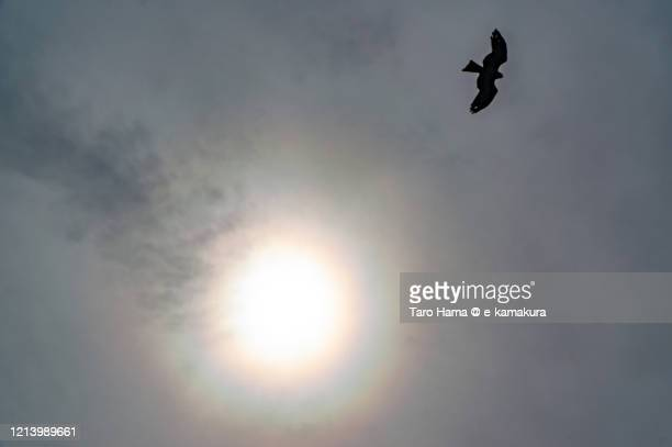 the bird flying under the sun and halo in kanagawa prefecture of japan - 翼を広げる ストックフォトと画像