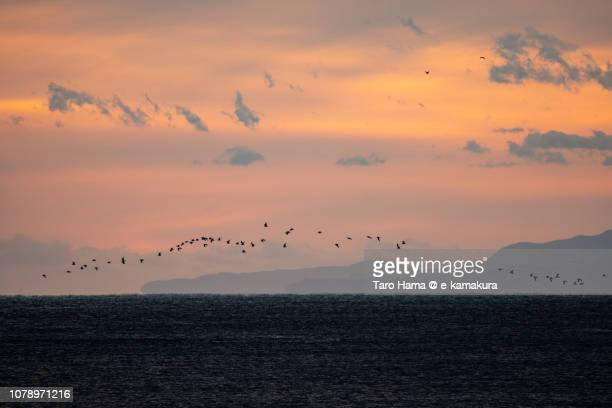 The birds flying on Sagami Bay, Northern Pacific Ocean in Japan in the sunset