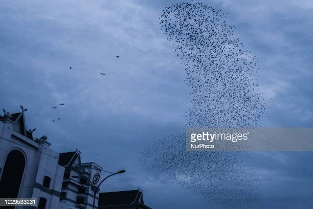 The birds gather over their roosting site, and perform their wheeling stunts before they roost for the night formation near the Pekanbaru town on...