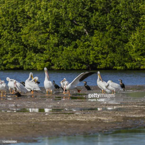 the birds of the j.n. ding darling national wildlife refuge - captiva island stock photos and pictures