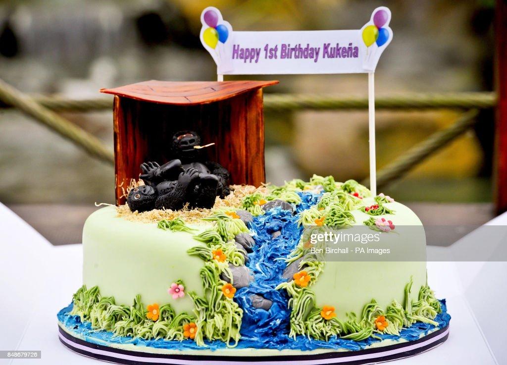 The Birthday Cake For Kukena The Baby Western Lowland Gorilla As He
