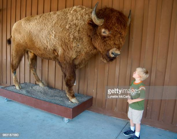 The bison and the boy