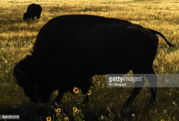 The Bison herd at Rocky Mountain Arsenal refuge gets more room to roam as they add more grazing land near DIA on August 28 2017 in Denver Colorado