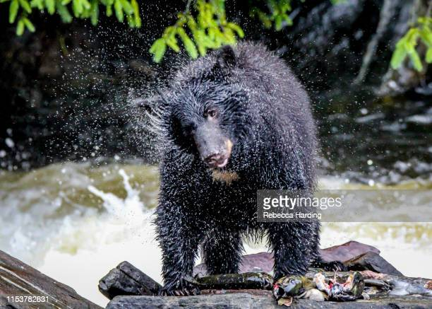 the black bear shake - hibernation stock pictures, royalty-free photos & images