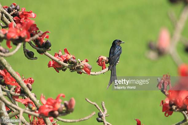 The Black Drongo also known as King Crow is a small Asian passerine bird of the drongo family Dicruridae Locally known as fingay it is a common...