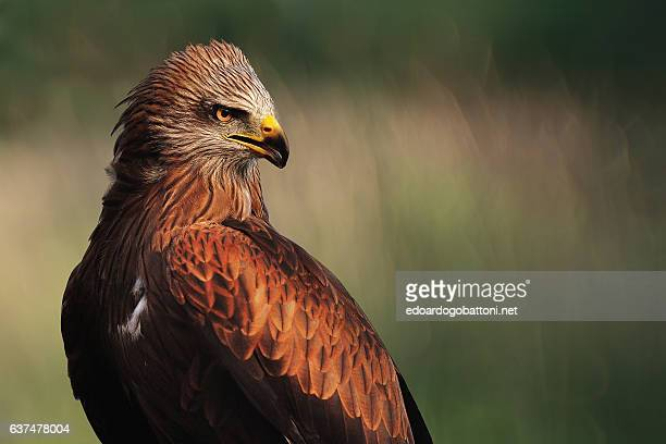 The black kite