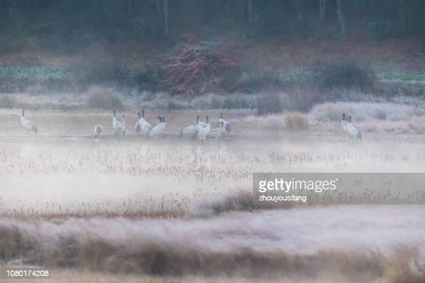 the black necked crane in fog - feuchtgebiet stock-fotos und bilder