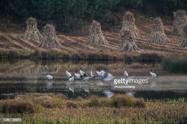 the black necked crane - crane bird stock pictures, royalty-free photos & images