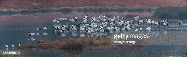 the black necked cranes - provinz yunnan stock-fotos und bilder