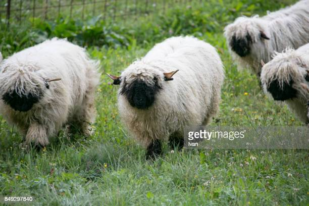 The Black nose sheep in Swaziland