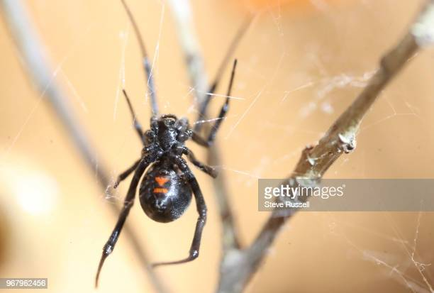 TORONTO ON JUNE 5 The black widow spider A look behindthescenes at the Royal Ontario Museums Live Room and curatorial workshop for their upcoming...