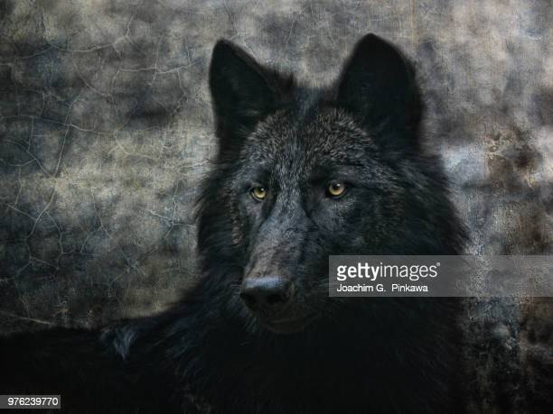 the black wolf - black wolf stock pictures, royalty-free photos & images