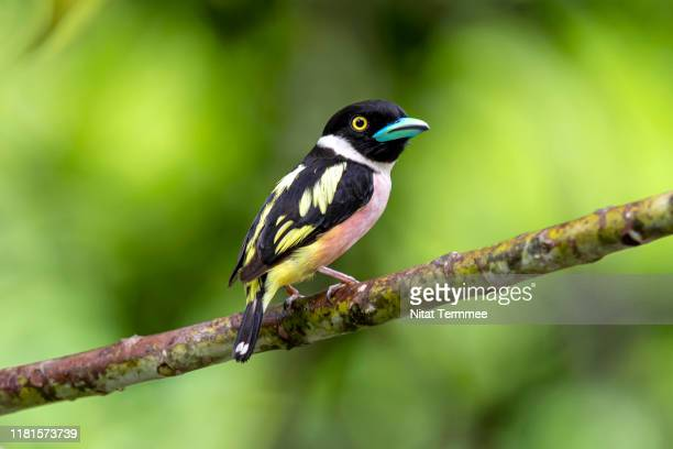 the black-and-yellow broadbill ( eurylaimus ochromalus ) bird. found in kaeng krachan national park of thailand. - cinciallegra foto e immagini stock