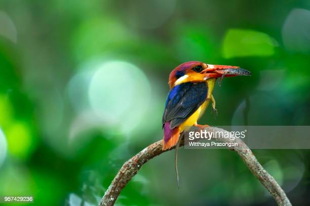 The Black-backed Kingfisher (Ceyx Erithaca) a red and orange bird perching on the bamboo branch carrying small snake to feed its chicks