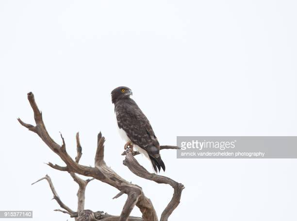the black-chested snake eagle. - black chested snake eagle stock pictures, royalty-free photos & images