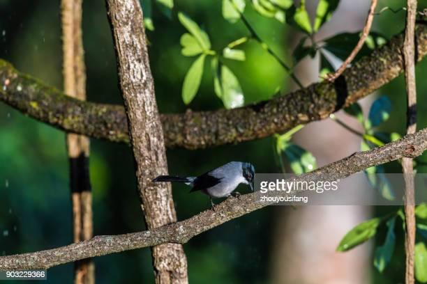 the black-headed sibia bird - provinz yunnan stock-fotos und bilder