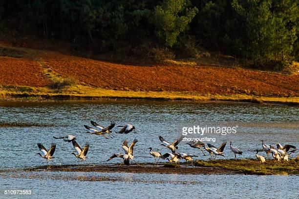the black-necked cranes - provinz yunnan stock-fotos und bilder