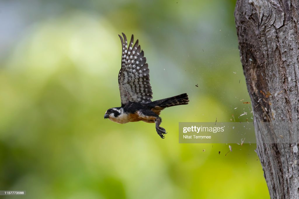 The Black-thighed Falconet ( Microhierax fringillarius ). Found in real nature of Thailand. : Stock Photo