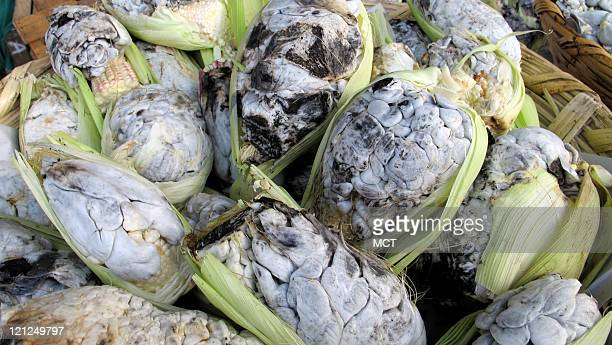 The blight known as corn smut allows fungus to grow on ears of corn The fungus is known as huitlacoche in Mexico and is considered a delicacy