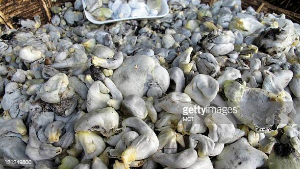 The blight known as corn smut allows fungus to grow on ears of corn The fungus known as huitlacoche in Mexico is considered a delicacy and described...