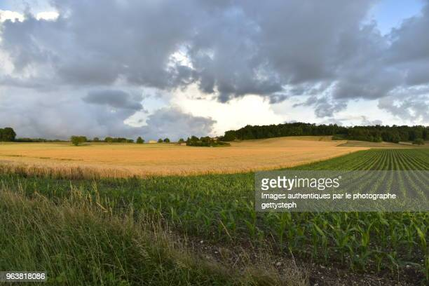 The blond and green fields under evening light