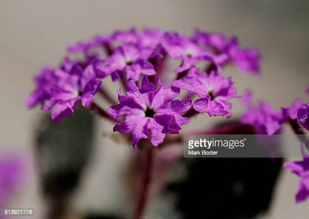 The blooms of the Sand Verbena add a dash of color to the otherwise monochromatic scene in the AnzaBorrego desert It doesn't matter if there is a...