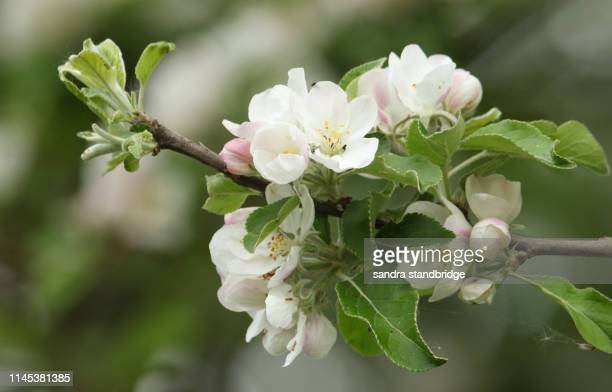 the blossom of a beautiful apple tree (malus) growing in the countryside in the uk. - apple blossom tree stock pictures, royalty-free photos & images