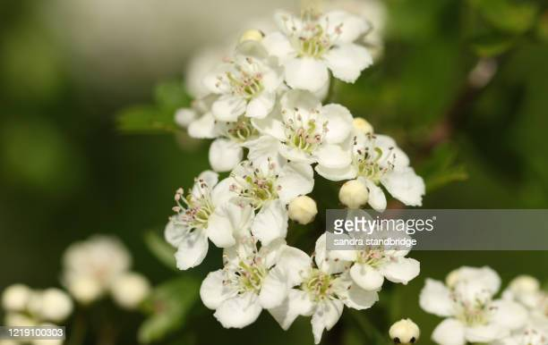 the blossom of a hawthorn tree, crataegus monogyna, growing in the countryside in the uk in spring. - hawthorn,_victoria stock pictures, royalty-free photos & images