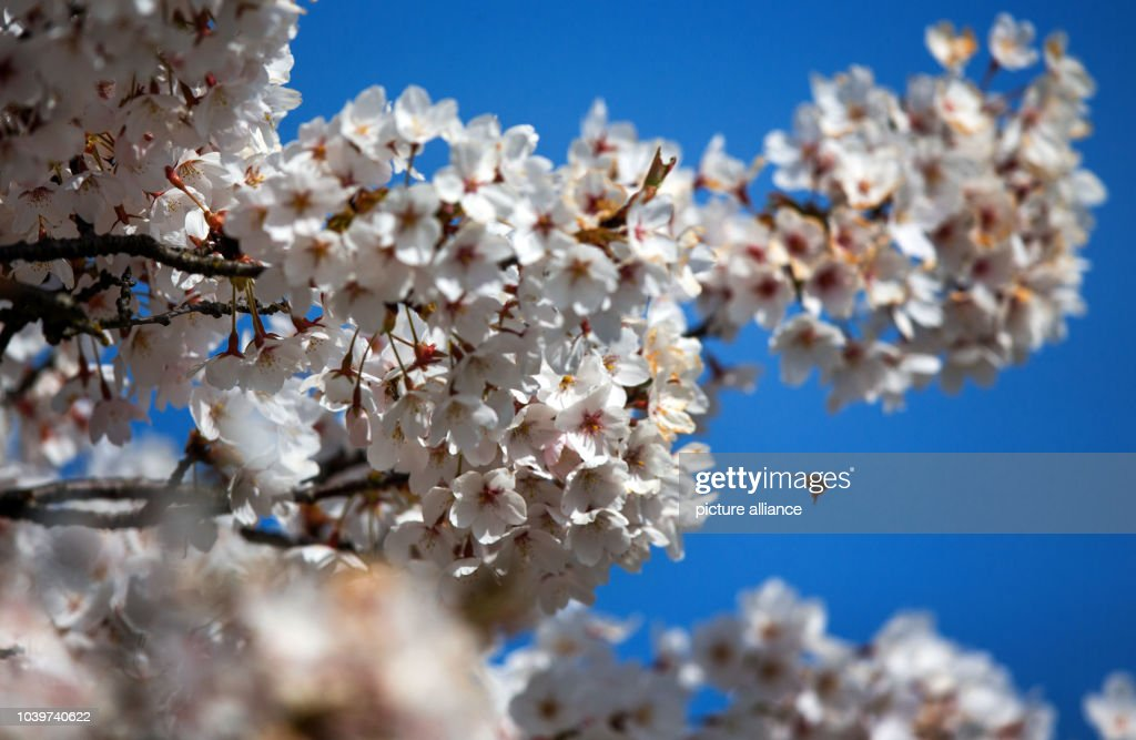 Boulevard With Japanese Cherry Blossoms Pictures Getty Images