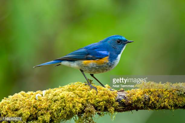 the blue bird. himalayan bluetail ( tarsiger rufilatus ). uncommon winter visitor. found in real nature northern of thailand. - pettirosso foto e immagini stock