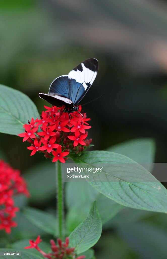 The Blue Black With White Stripe Butterfly Sitting On Red Flower