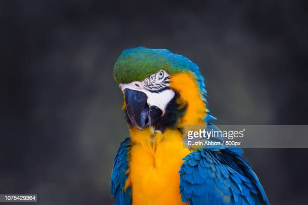 the blue macaw - dustin abbott - fotografias e filmes do acervo