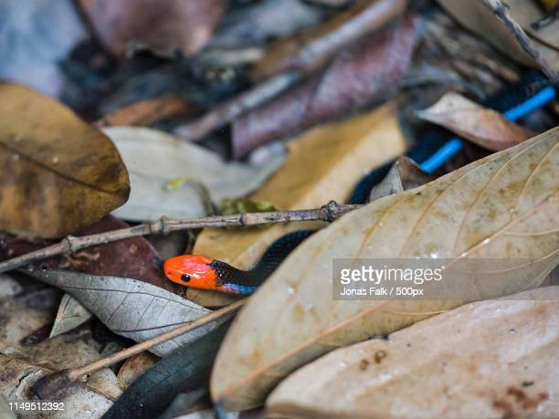 the blue malaysian coral snake - coral snake stock pictures, royalty-free photos & images