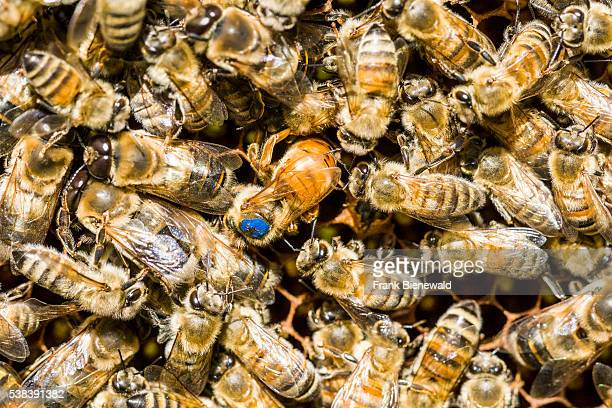 The blue marked Queen of a Carniolan honey bee colony is inserting an egg