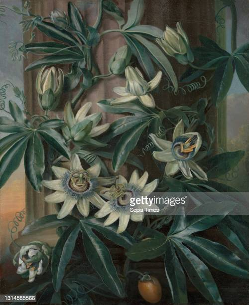 The Blue Passion Flower, for Robert John Thornton's Temple of Flora , Philip Reinagle, 1749–1833, British Oil on canvas, Support : 17 7/8 x 14 3/4...