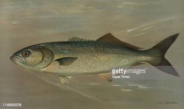 The Bluefish, Pomatomus saltatrix, Harris, William C. , 1830-1905, , Petrie, J. L.