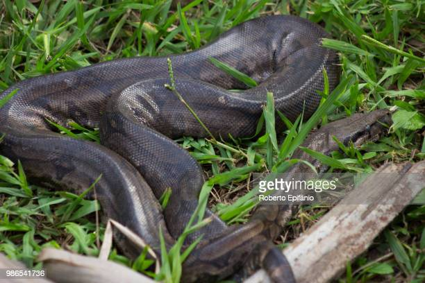 the boa constrictor (jiboia) - anaconda stock pictures, royalty-free photos & images